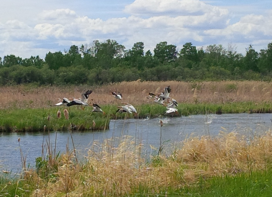 This is what I see when I take the dog for a walk (those are pelicans).