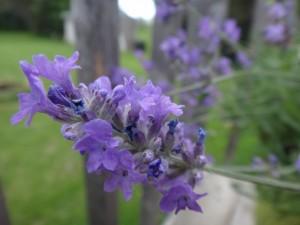 lavenderblooms