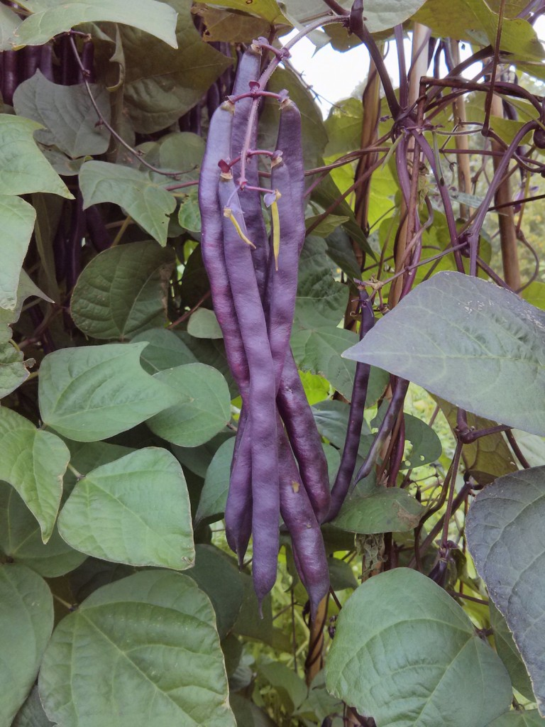 Blauhilde beans from Laurie's garden