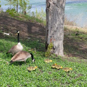 Spring babies by the Bow River